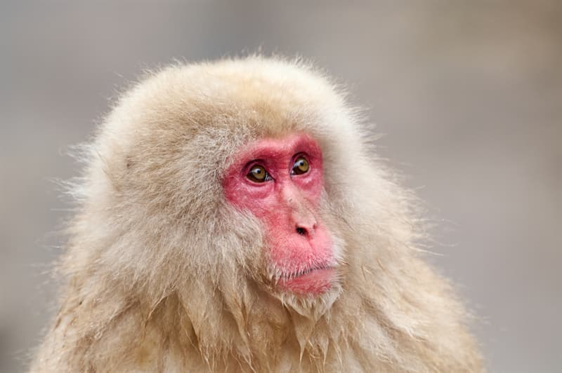 Nature Story: #5 Monkeys in Japan can now buy food from vending machines. They learned to pick up coins in the street and make use of them
