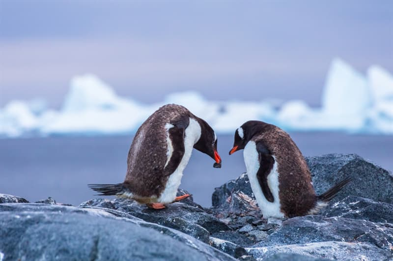 Nature Story: #7 A male penguin asks a female penguin for marriage with a stone. If the female penguin accepts, she returns to her nest with it