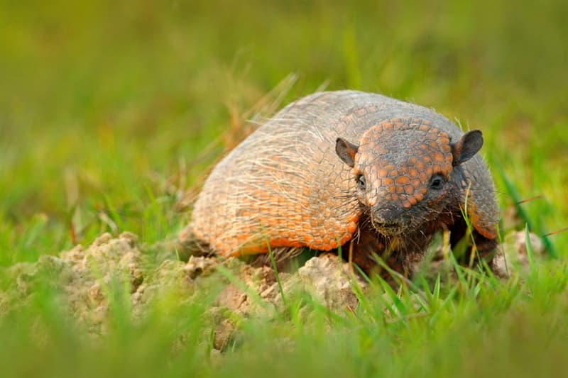 Nature Story: #8 A female armadillo can delay her labor by 2 years if she is stressed