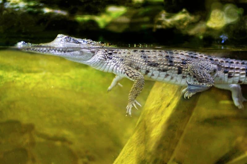 Culture Story: #1 A mini floating crocodile