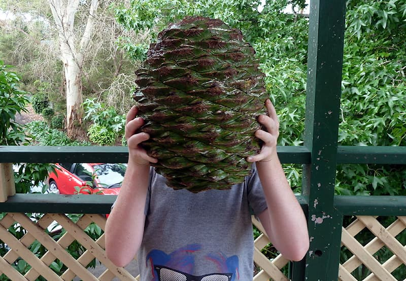 Geography Story: #4 This country also has the Bunya pine, one of the largest pines in the world, found in Queensland