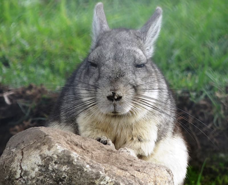 Nature Story: #1 The mountain viscacha is a rodent but it closely resembles a rabbit.