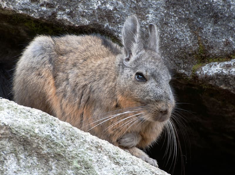Nature Story: #2 This large rodent can reach up to 18 inches and 6.5 pounds.