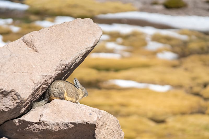 Nature Story: #3 This fluffy critter makes its habitat in mountainous and rocky areas, preferring high altitudes.