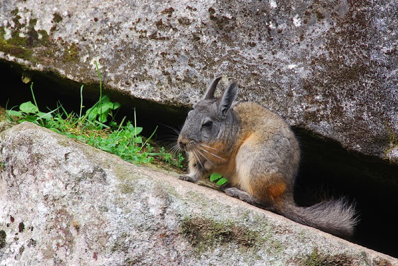 Nature Story: 5 amazing facts about the mountain viscacha #4
