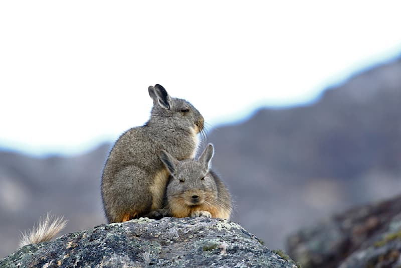 Nature Story: #5 Mountain viscachas have a very interesting communication system in their colonies.