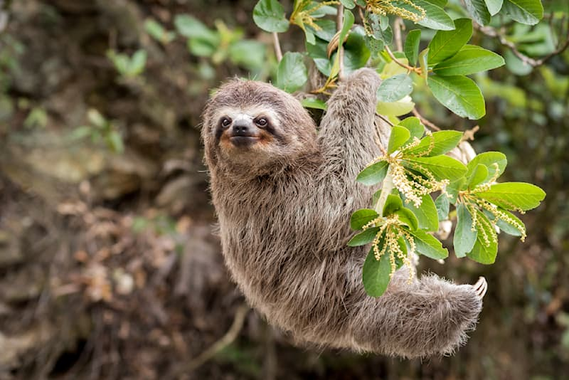 Society Story: #6 Sloths may be the butt of a lot of jokes but when it comes to holding their breath, they get the last laugh.