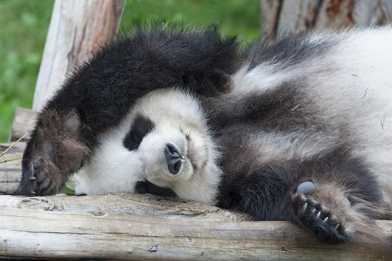 Nature Story: #1 The giant panda on a regular day sleeps for about 10 hours