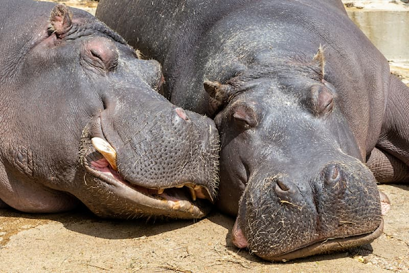 Nature Story: #2 Did you know that the average hippo sleeps in the sun for a period of 16-20 hours?