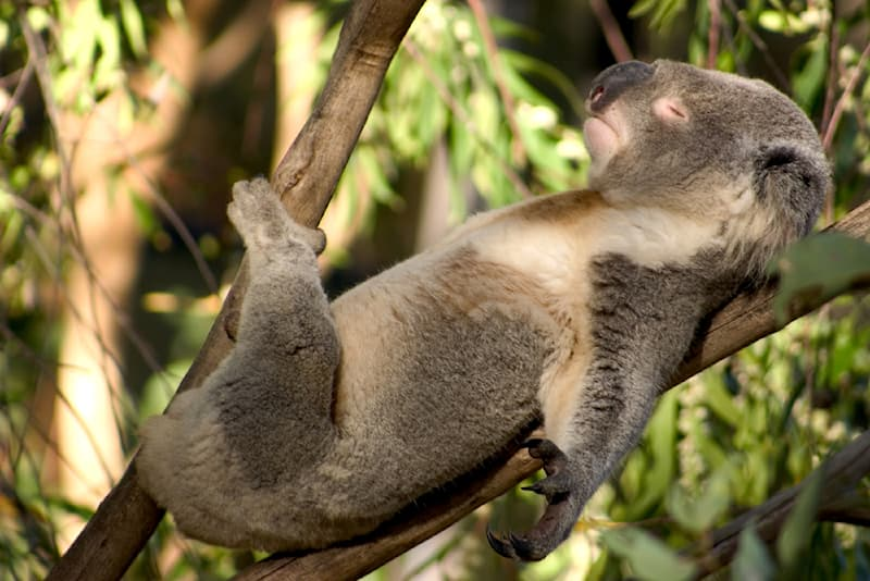 Nature Story: #3 An animal lazier than the hippo is the koala bear which spends about 18-22 hours of the day asleep
