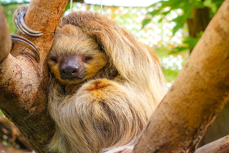 Nature Story: #4 The furry three-toed sloth is famous for sleeping for about 20 hours daily while hanging from a tree