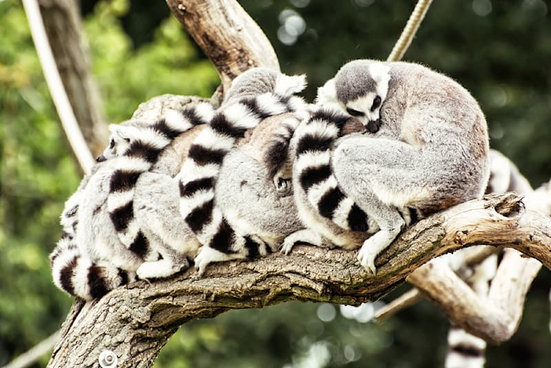 Nature Story: #7 The ring-tailed lemur and the red-ruffed lemur are known to spend about 16 hours asleep