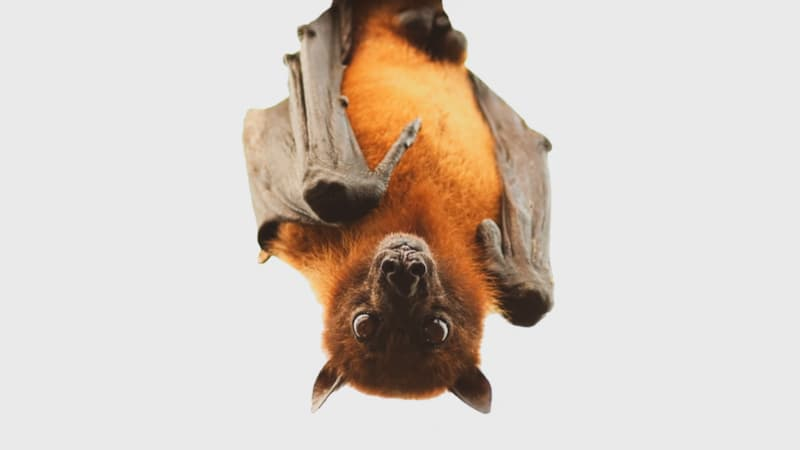 Nature Story: #2 There is only one mammal that can actually fly! The bat.