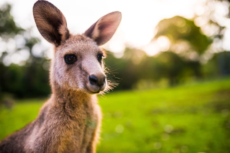 Nature Story: #3 Kangaroos are famous for hopping around.