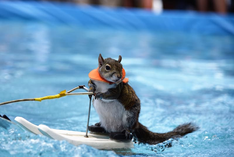 Sport Story: #5 Twiggy the squirrel is skiing on a pool during the Sarasota sun coast boat trade show