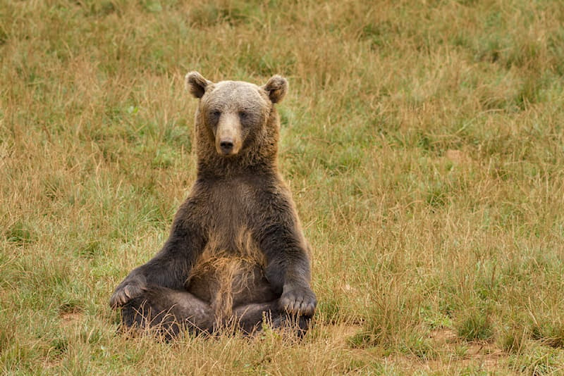 Sport Story: #6 This bear's sitting position reflects meditation