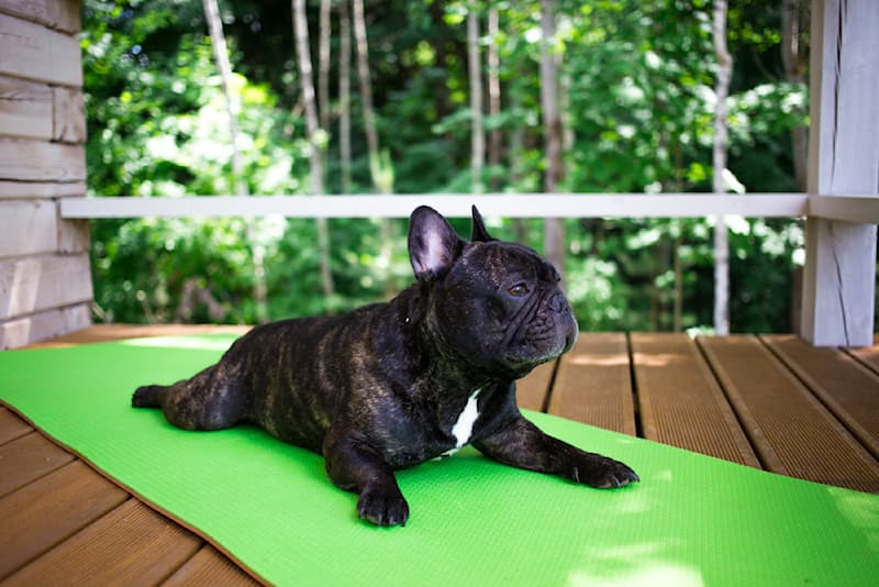 Sport Story: #8 Yoga looks easy on this French bulldog