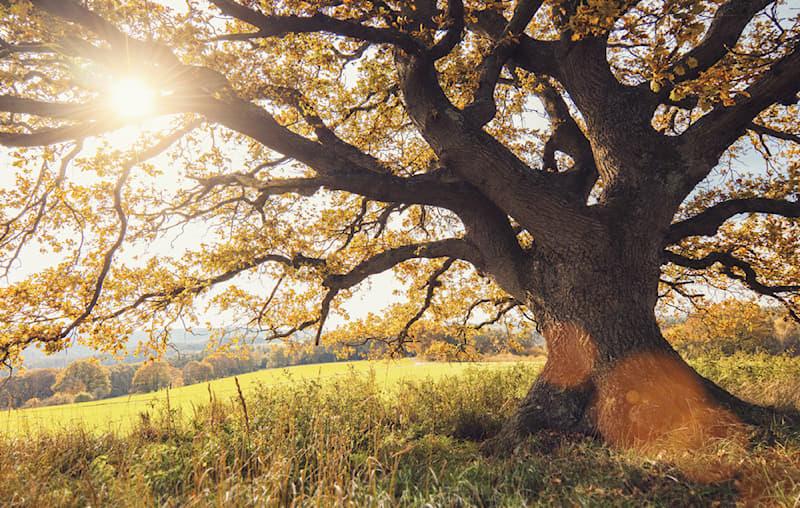 Nature Story: #1 The oak tree species was around back in the age of the dinosaurs.