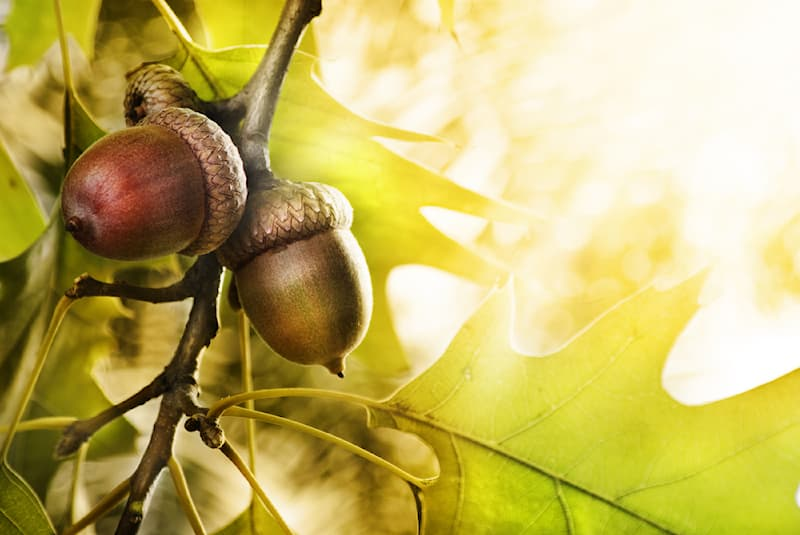 Nature Story: #3 During their long lives, oak trees produce over 10 million acorns which serve as food for many animals.