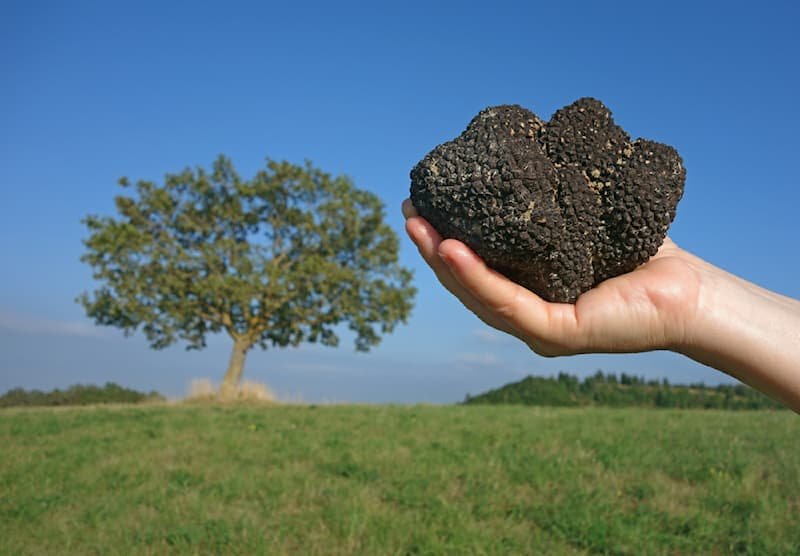 Nature Story: #5 Truffles and oaks have a close relationship.