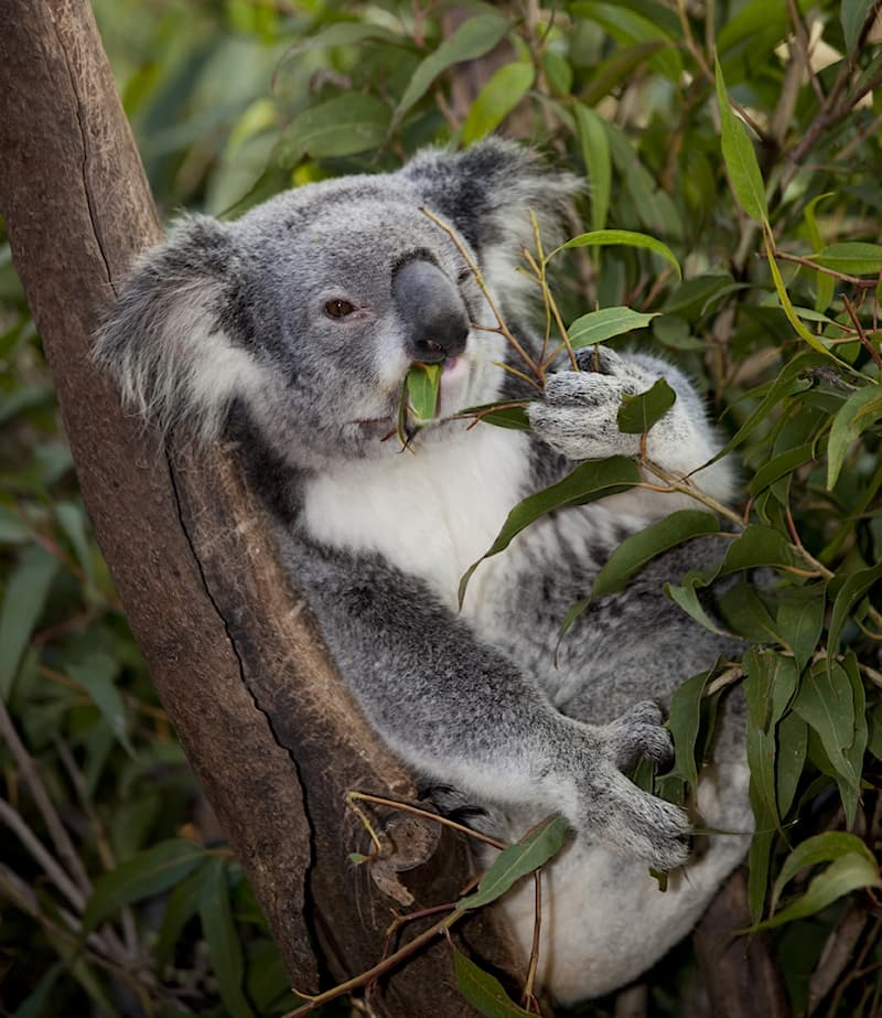 Science Story: #3 Koalas naturally don't drink water!
