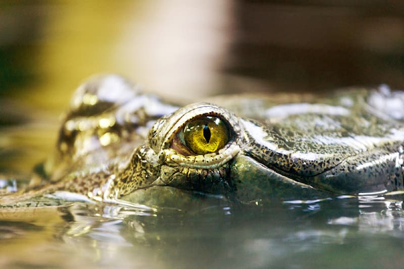 Science Story: #6 Crocodiles swallow stones as a means of helping digestion and also to dive deeper