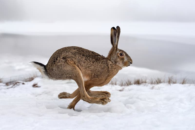 Nature Story: #1 Absolutely amazing picture of a hare taken mid-leap on a winter field