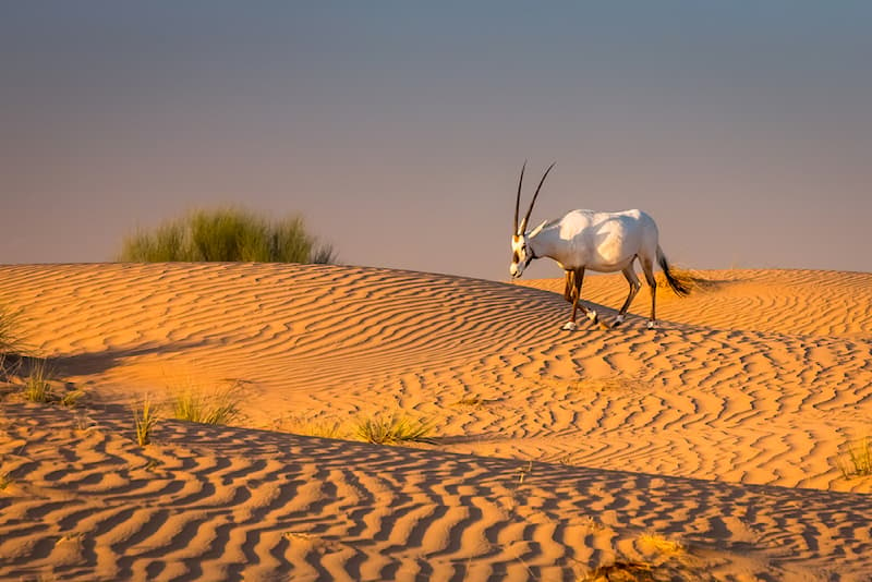 Nature Story: #2 An oryx in the dunes of a desert in Dubai at sunset