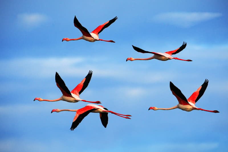 Nature Story: #3 A flock of lovely pink flamingos flying across the beautiful blue sky