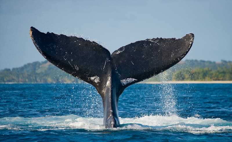 Nature Story: #4 The priceless photo of the powerful tail of a humpback whale taken on St. Mary's island, Madagascar