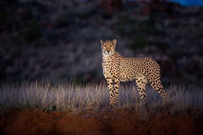 Nature Story: #5 A perfect shot of a cheetah at night taken at Tiger Canyons, South Africa