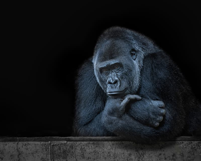 Nature Story: #7 Brooding gorilla in black backdrop