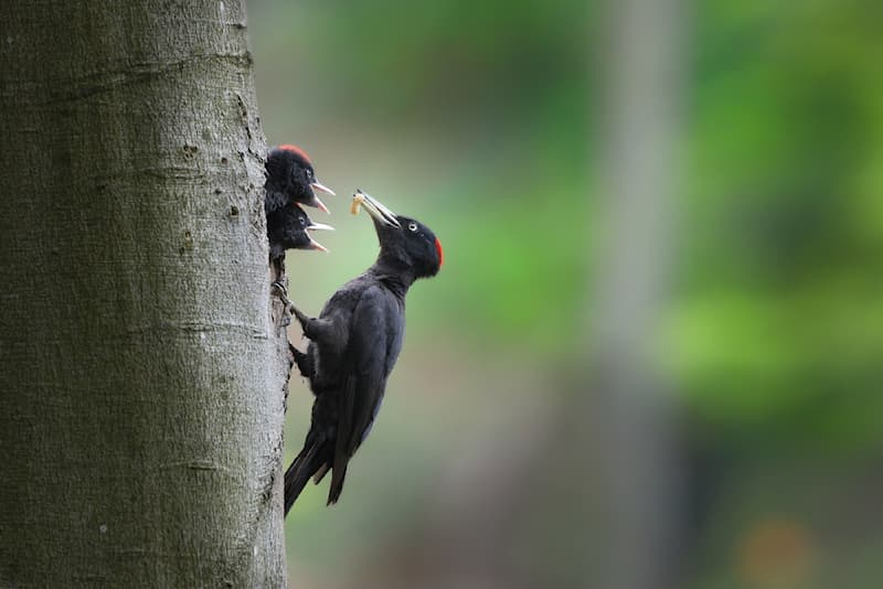 Nature Story: #8 Incredible shot of a black woodpecker feeding her chicks while hanging from a tree