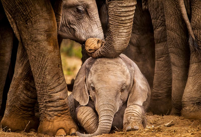 Nature Story: #9 Baby African elephant being guided by the adults in the herd