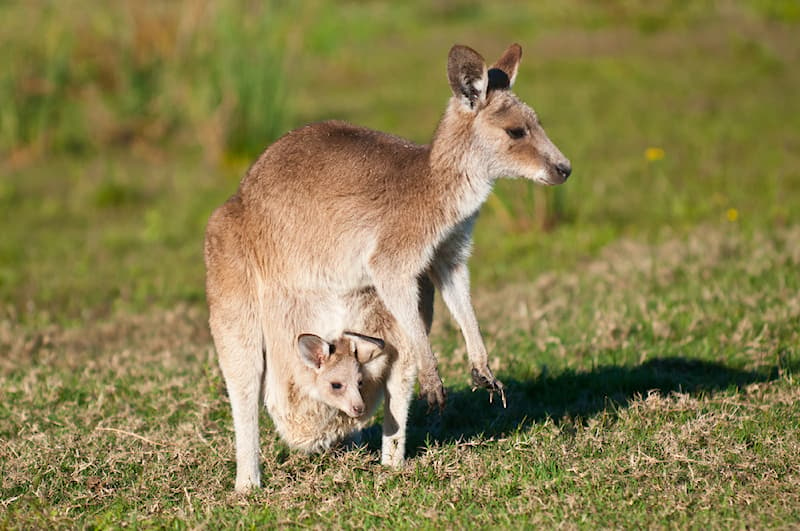 Nature Story: #2 Kangaroos and wallabies are two different species.