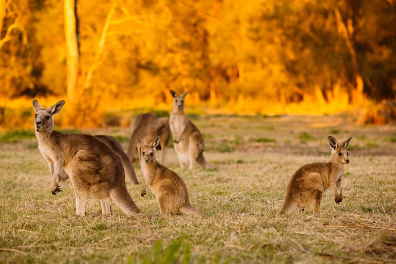 Nature Story: #5 Kangaroos have specific names based on their age and sex.