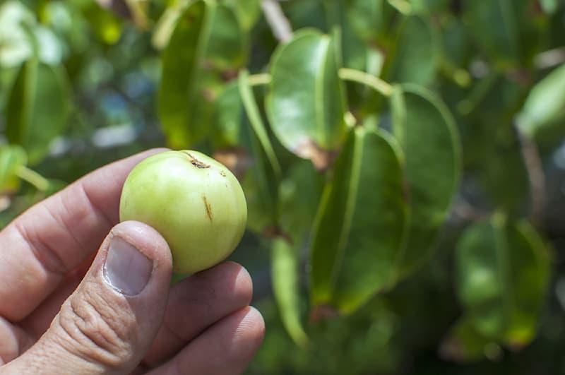 Nature Story: #1 Manchineel tree/apple.