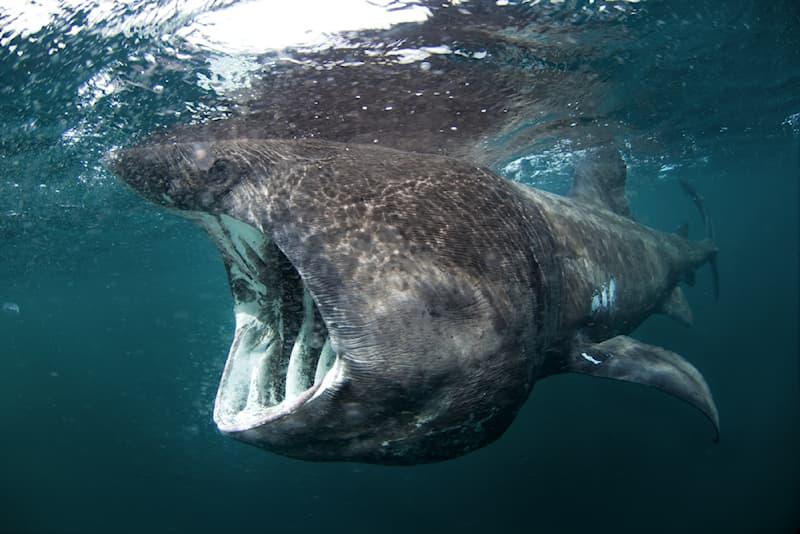animals Story: #1 Basking Shark