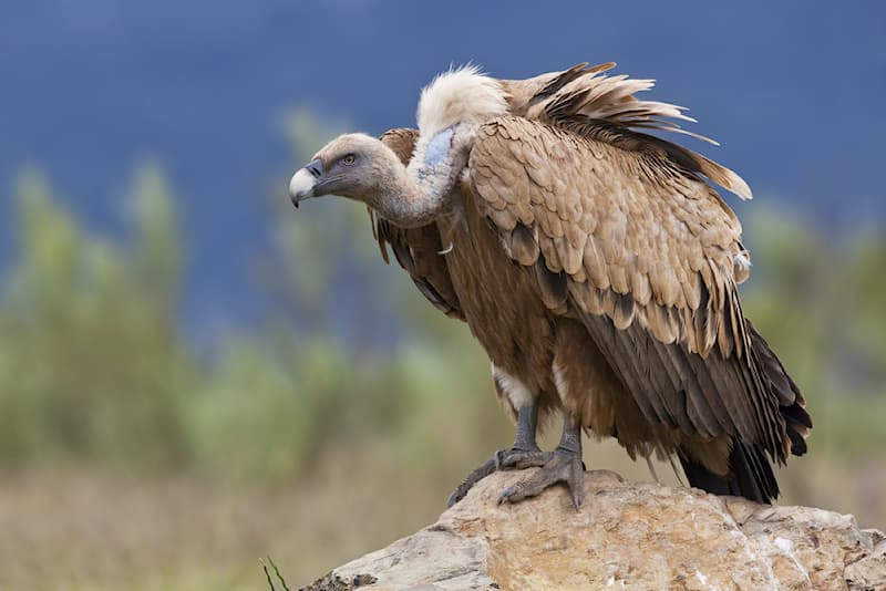 animals Story: #2 Vulture