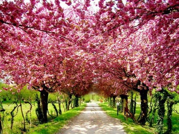 """Natur Wissensfrage: Das Aufblühen welches Baums bedeutet das japanische Wort """"sakura""""?"""