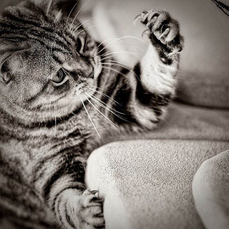 Nature Trivia Question: What larger cat cannot retract its claws?