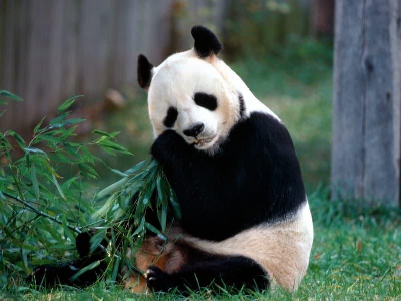 natura Pytanie-Ciekawostka: Gdzie zabicie pandy jest karane śmiercią?