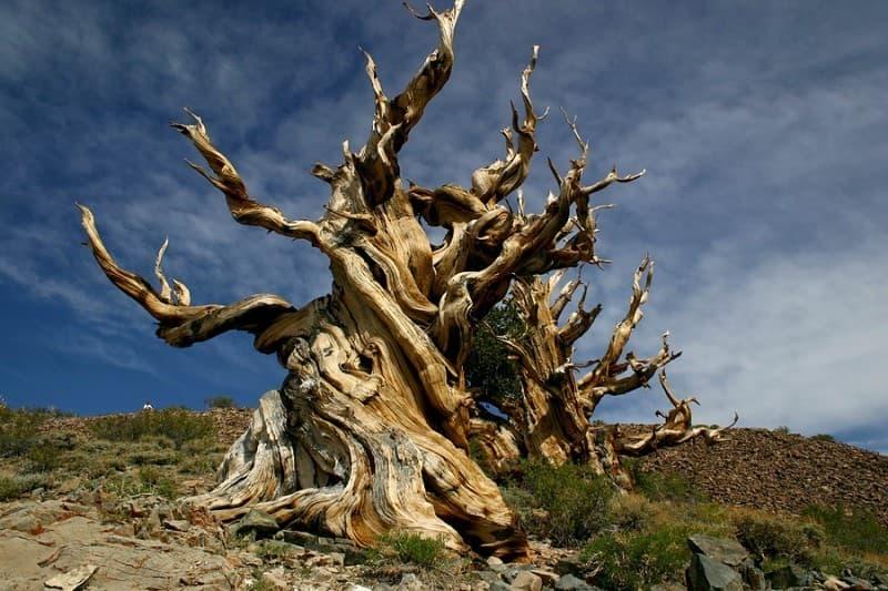 natura Pytanie-Ciekawostka: Gdzie znajduje się najstarsze drzewo na świecie?