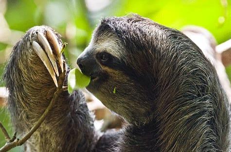 География Вопрос: Ленивцам требуется 2 недели чтобы переварить пищу.