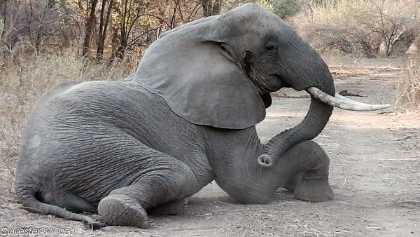Nature Trivia Question: How many hours do elephants sleep?
