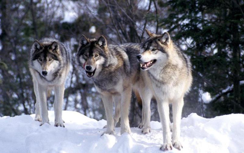 природа Запитання-цікавинка: Як називається група вовків?