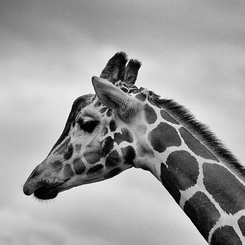 natura Pytanie-Ciekawostka: Jakiego koloru jest język żyrafy?