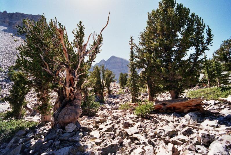 природа Запитання-цікавинка: Який вид сосни може жити більш ніж 5000 років?