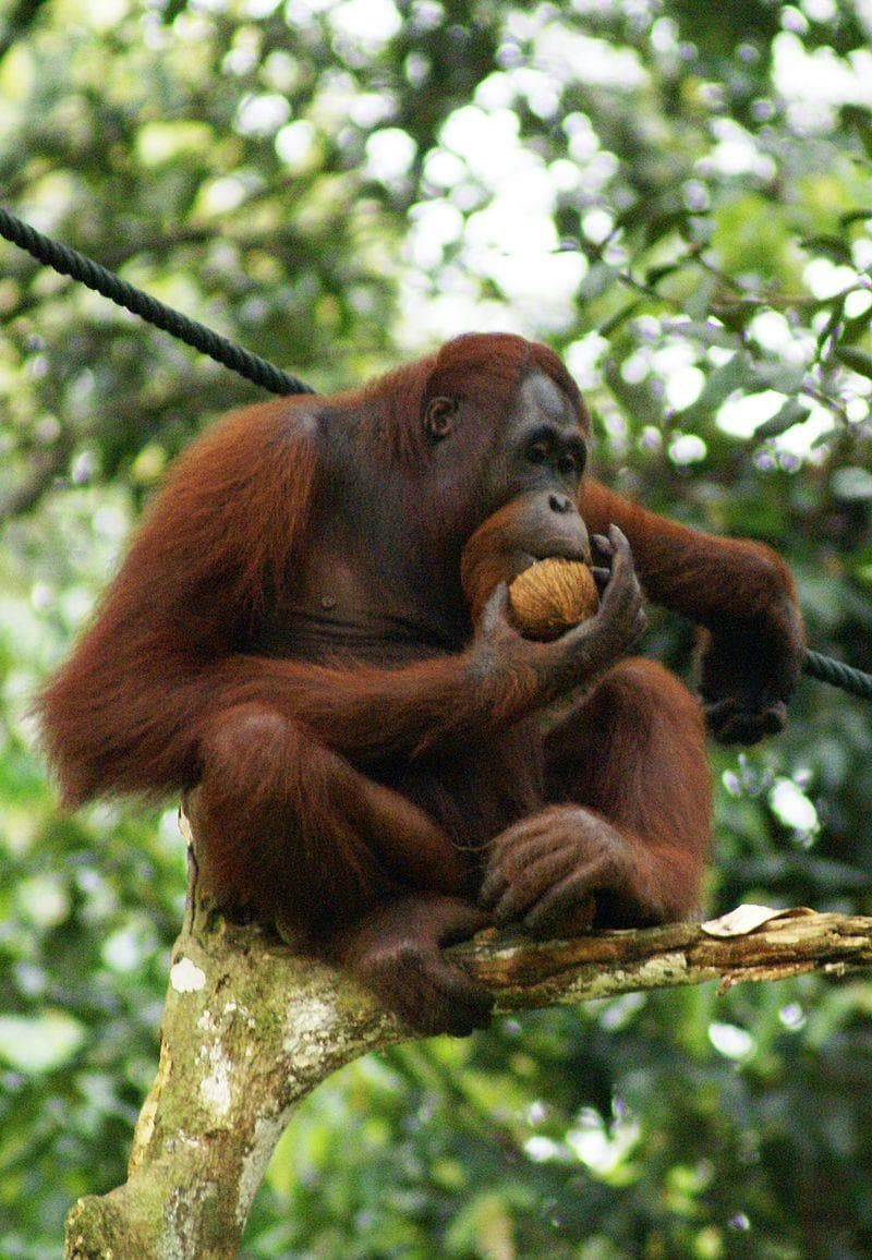 """natura Pytanie-Ciekawostka: Co oznacza wyraz """"Orangutan""""?"""