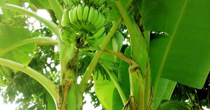 Nature Trivia Question: Can banana plants walk?